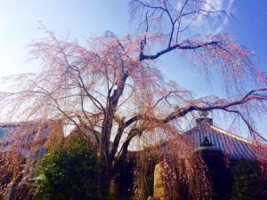 夢見の桜0331