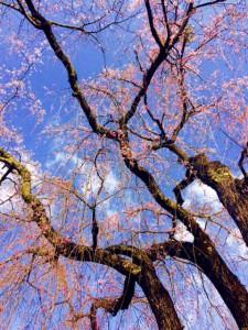 夢見の桜0331/